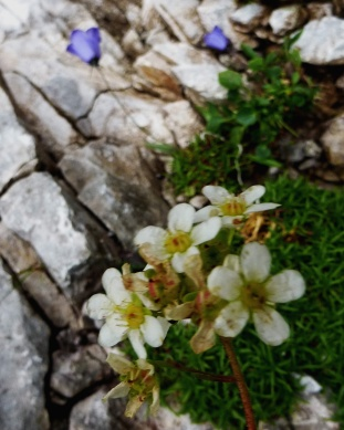 Lifelong Saxifrage with Fairy's Thimble