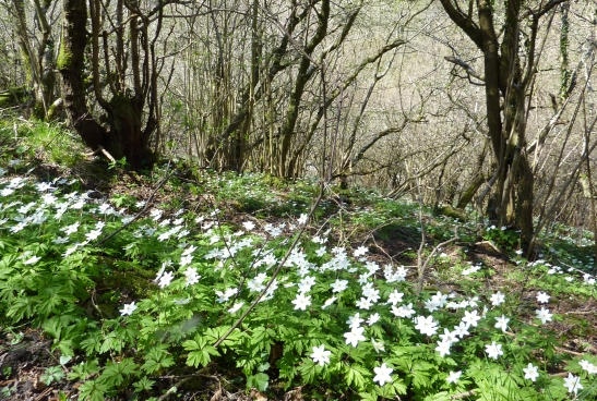 Wood Anemones in Ecton Wood