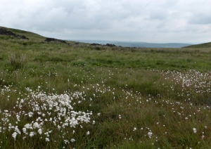 A patch of Bog cotton, looking across to Holcombe Moor and Peel Tower.