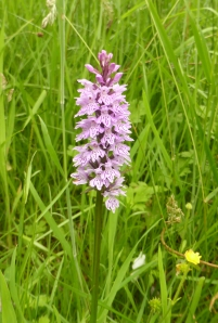 Common Spotted Orchid found at Hollingshead Hall ruins